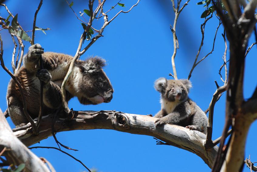 Great Ocean Road - Koalas