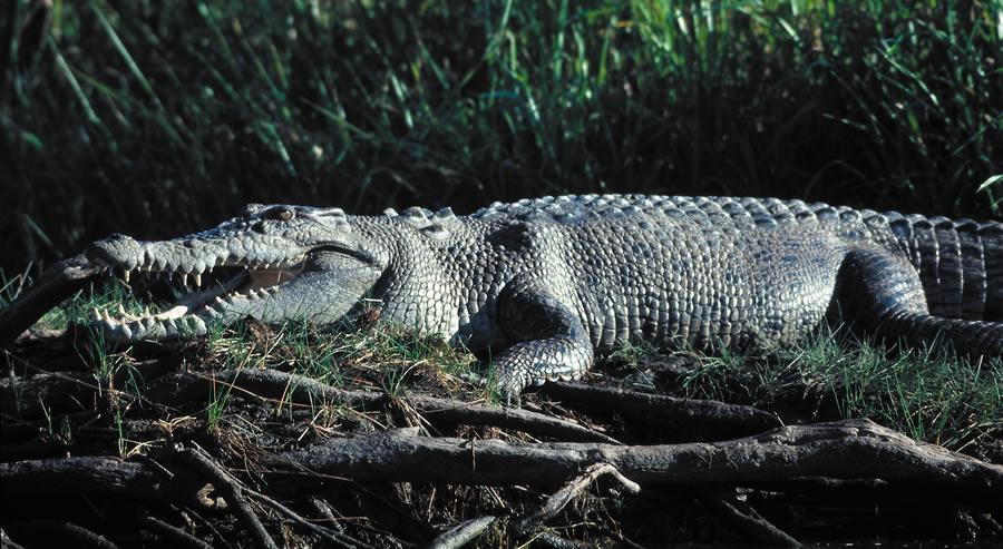 Les crocodiles salties sont très présents dans le parc pendant la saison des pluies