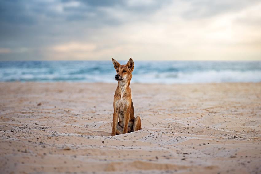 Il faut se méfier des dingos sur Fraser Island