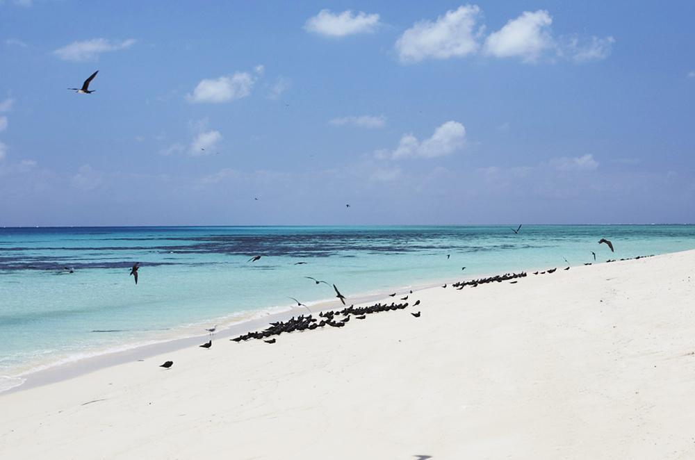 Michaelmas Cay, en été 20 000 oiseaux s'y regroupent !