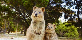 Quokkas, Rottnest Island - Australie de l'Ouest