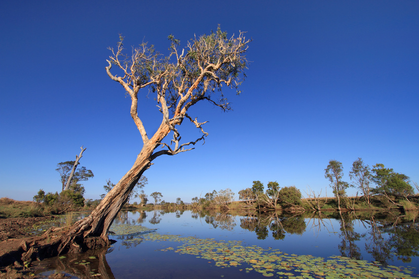Eucalyptus ou Gumtree
