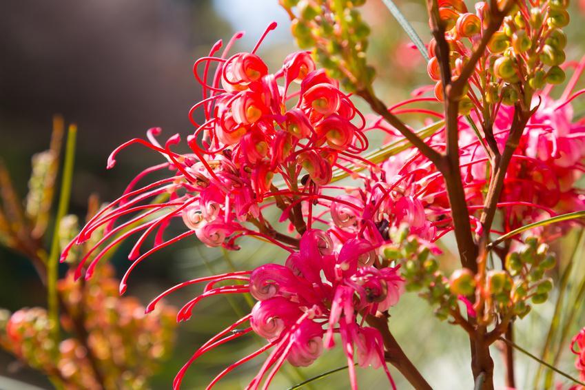 plante native -Australie