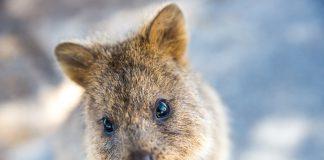 Quokka - Rottnest Island, Australie.