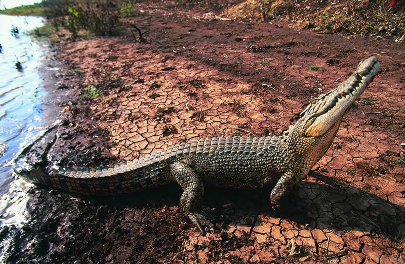 Freshwater crocodile Kimberley