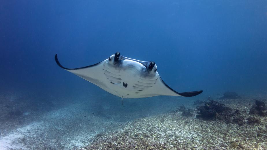 raie manta - Ningaloo Reef