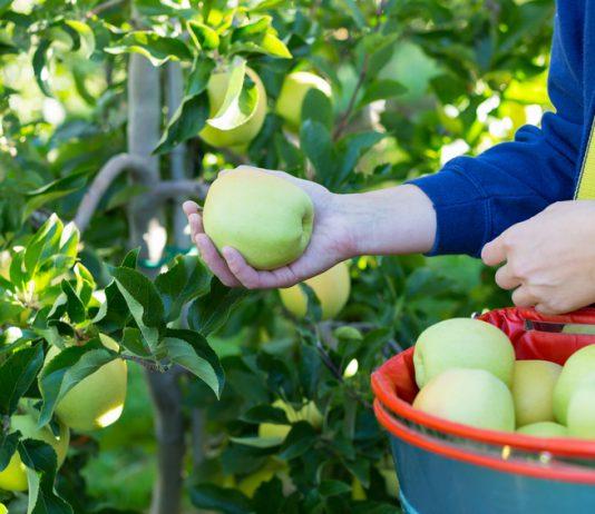 Fruit-picking-Australie