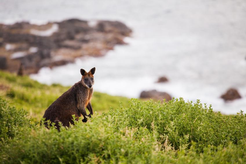 Kangaroo Island - Australie