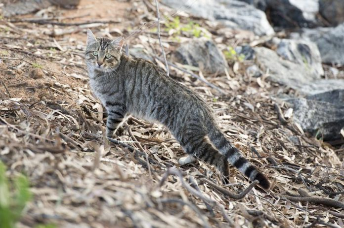 Chat sauvage d'Australie