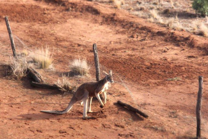 Clôture anti-kangourous