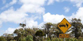 Accident sur la route avec un kangourou