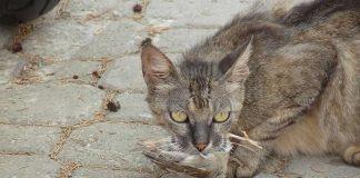 Guerre contre les chats en Australie