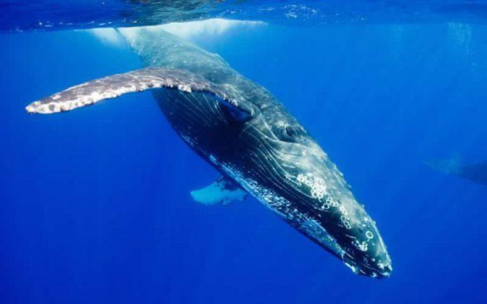 Baleines à bosse Australie