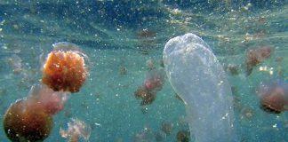 Méduse mortelle Australie