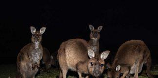 Kngourous la nuit