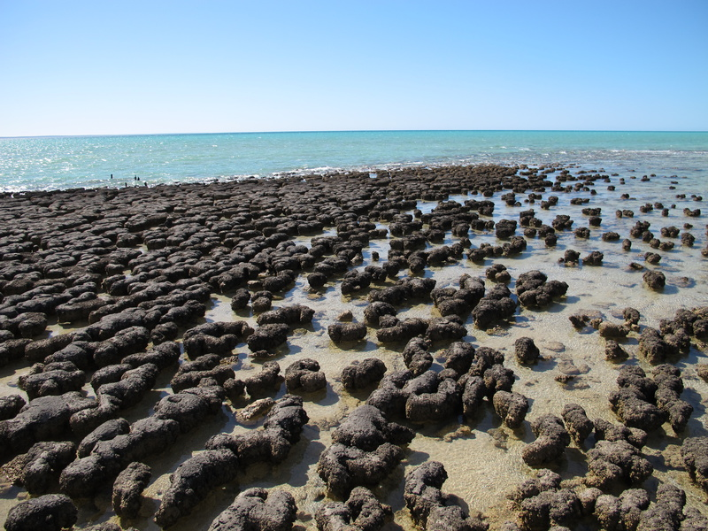 Stromatolites Shark Bay Western Australia