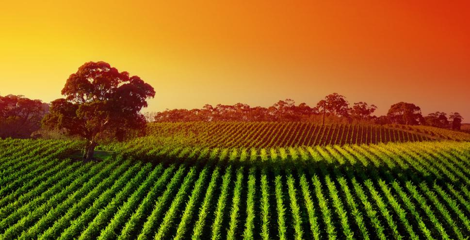Paysage de vignoble en Australie du sud