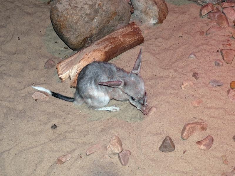 Un Bilby, un représentant de la faune de Shark Bay