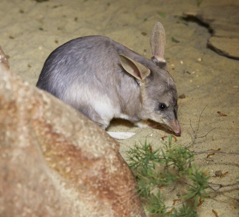 Marsupiaux : Bilby, David Fleays Wildlife Park - Queensland
