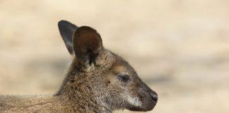 animaux d'Australie
