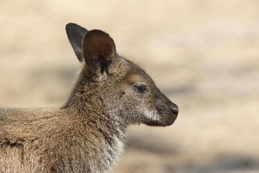 Freycinet National Park : kangourou de Bennet