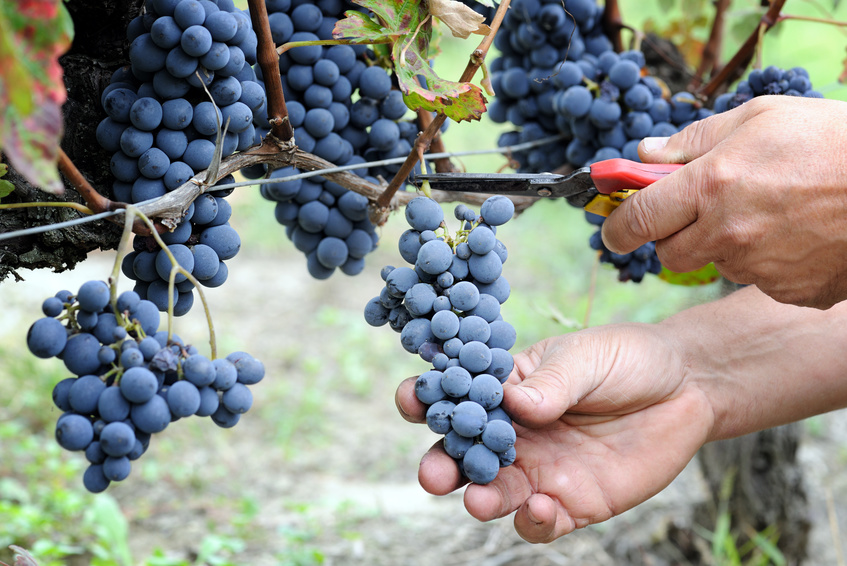 Le fruit picking : job dans les vignes