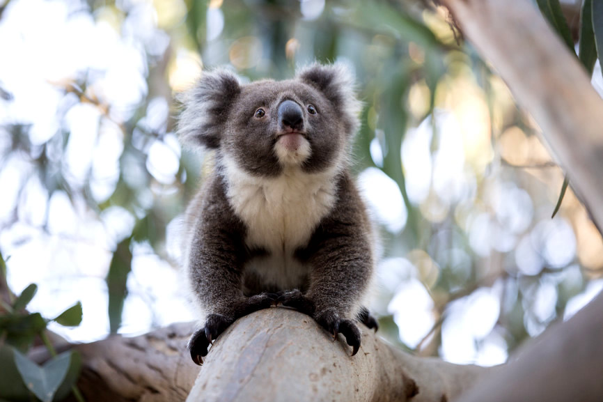 Koala - Yanchep National Park