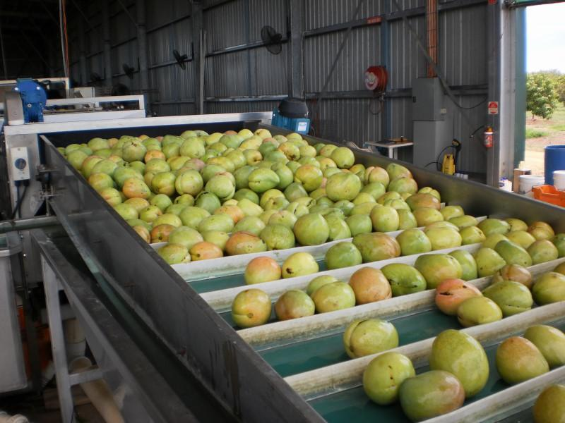 La richesse de la ferme : ses mangues : 35 000 mangiers en 4 variétés