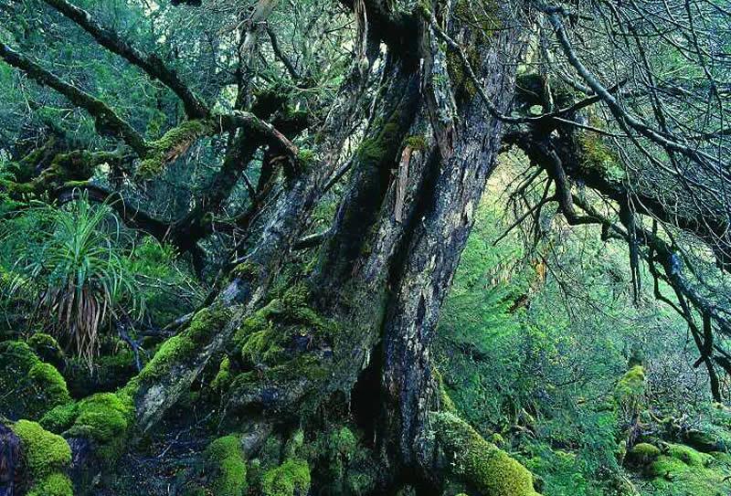 Le pin de Huon qui peut vivre jusqu'à 3000 ans !