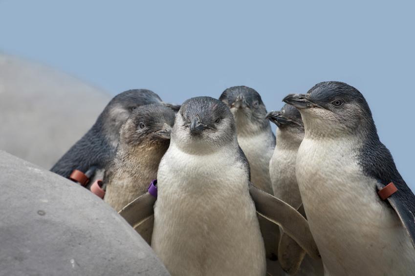 Les pingouins sont assez courants en Australie