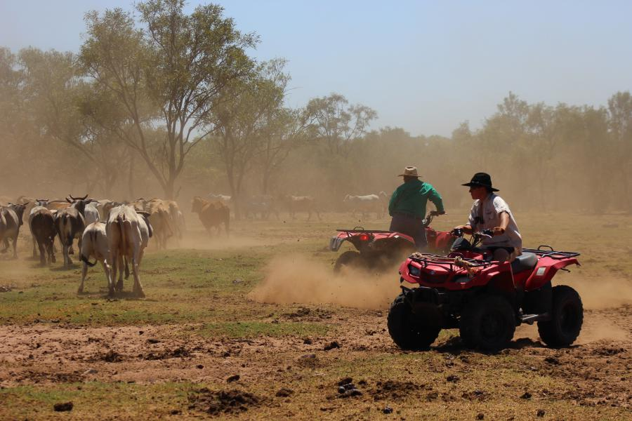 Ce job est parfait pour observer le travail des stockmen avec le bétail
