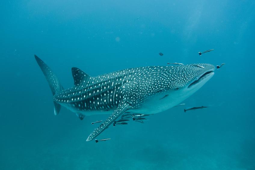 Les Requins Baleine sont fréquents dans les eaux de Shark Bay