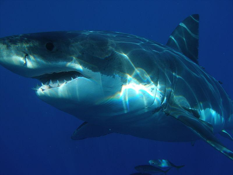 Le Requin blanc, redoutable prédateur