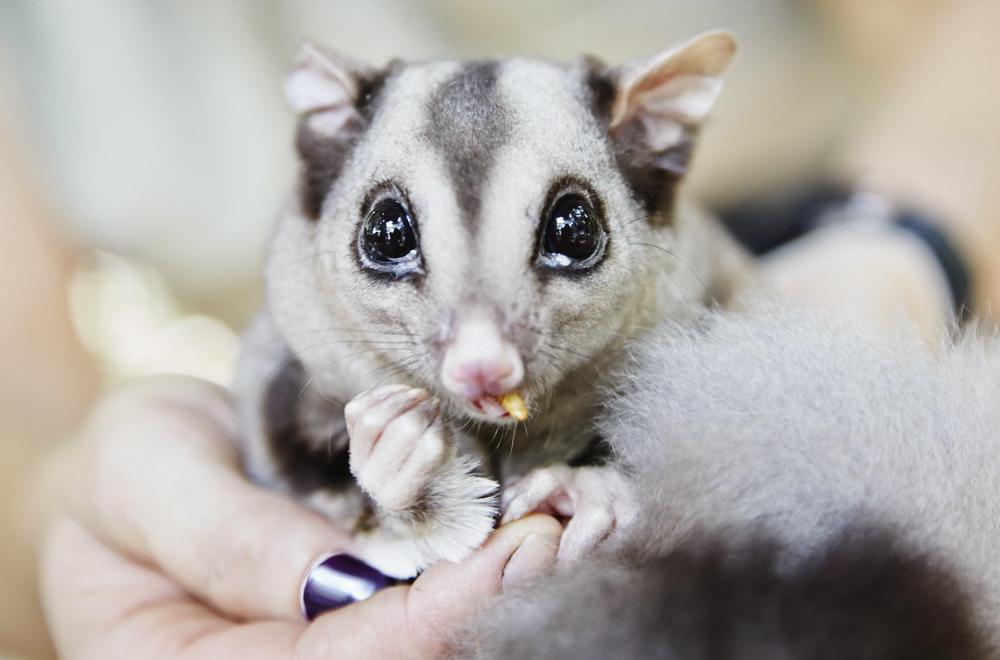Marsupiaux : Sugar Glider, Cairns Tropical Zoo - Queensland