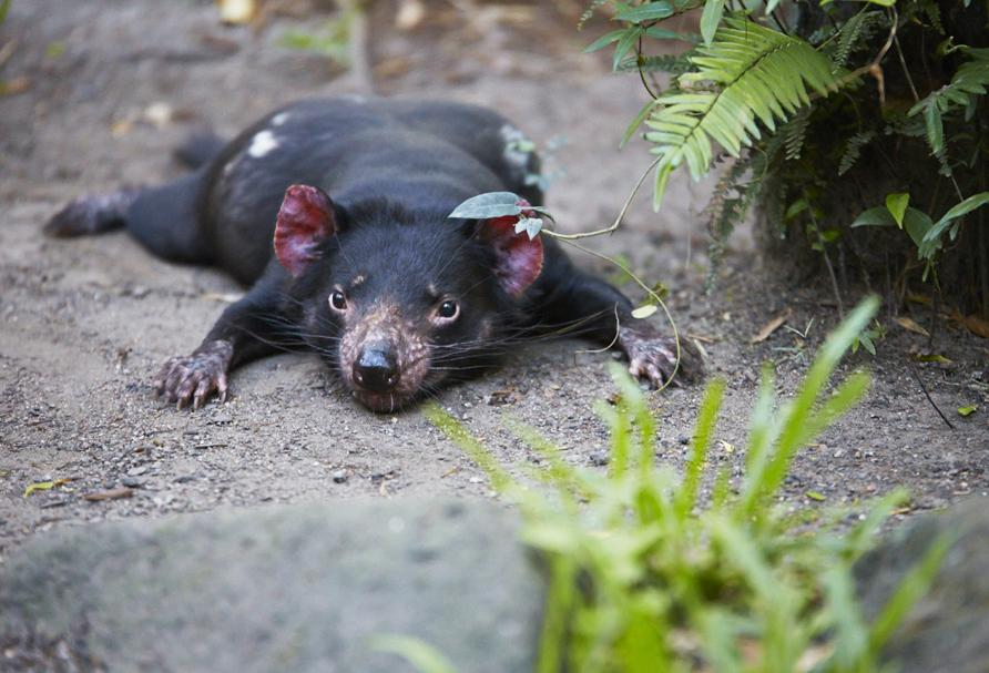 Marsupiaux : Diable de Tasmanie, Currumbin Wildlife Sanctuary - Queensland