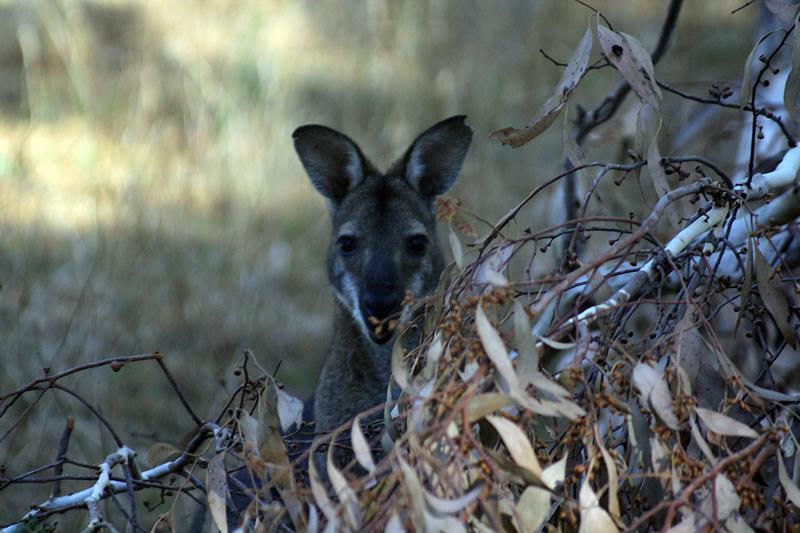 Rien de plus facile que de voir des kangourous dans les Grampians