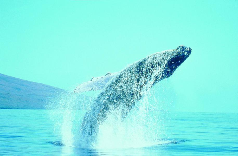 Baleines à bosse et de Minke sont fréquentes