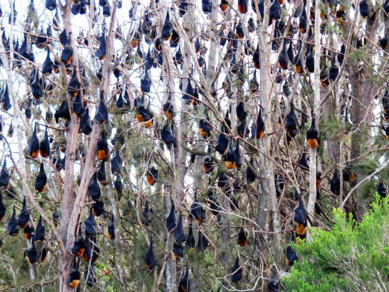 Invasions de chauves-souris