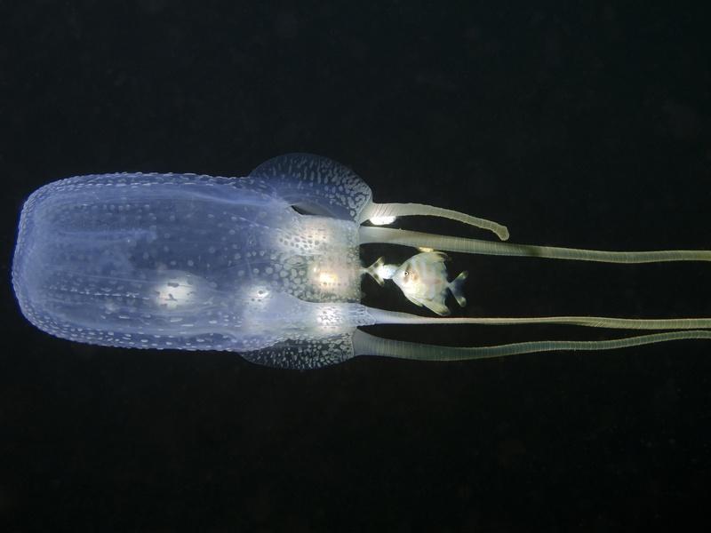 Les dangers de la faune australienne : Box Jellyfish - Australie