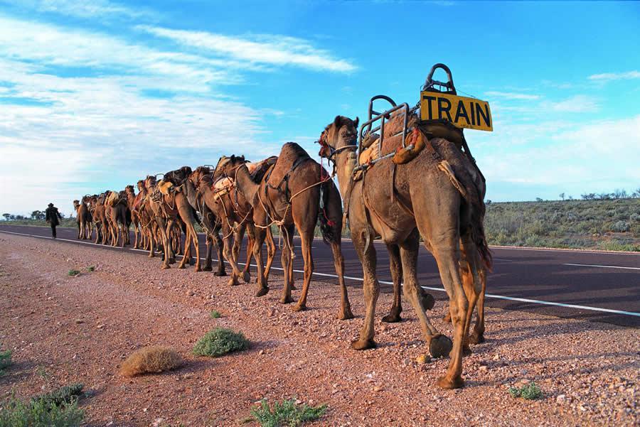 Camel train, un peu l'ancêtre du Roadtrain