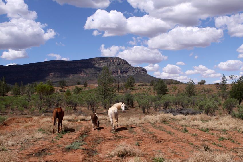 Chevaux sauvages dans l'Outback