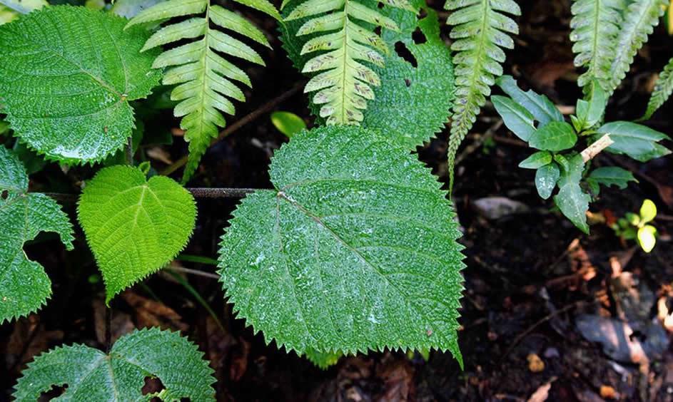 gympie-gympie une plante dangereuse au simple contact