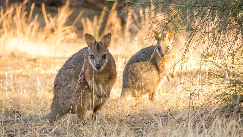d71b3be3106a Les marsupiaux, ces surprenants animaux australiens.