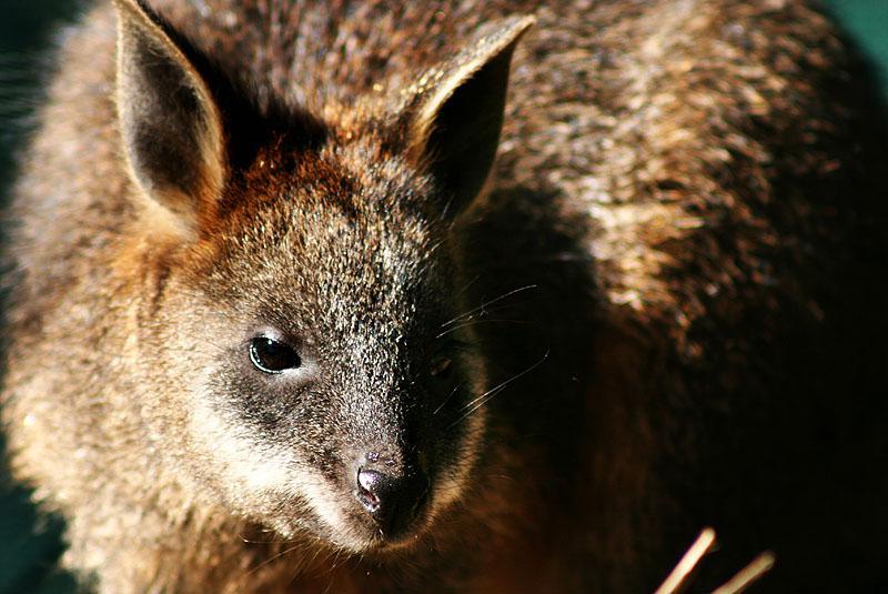 les marsupiaux