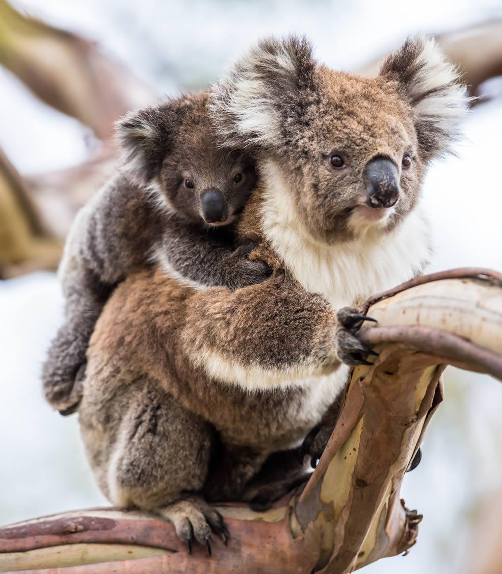Le koala, un marsupial en voir de disparition
