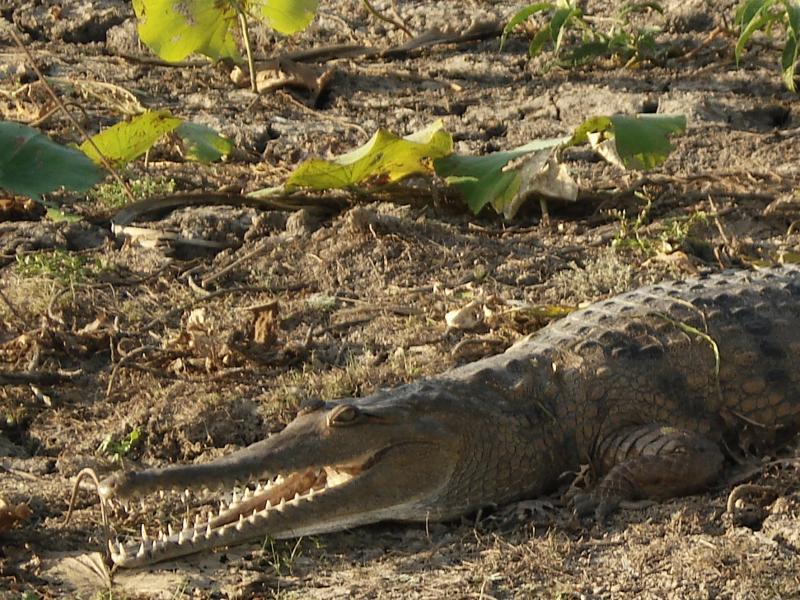 """Crocodile """"saltie"""" qui peut atteindre 7 mètres"""