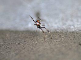 "La ""célèbre "" Redback spider"
