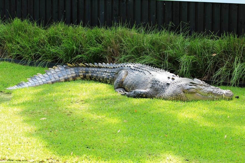 Les dangers de la faune australienne : Crocodile de mer, Australie
