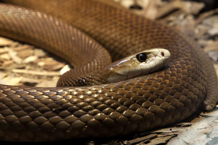 Les dangers de la faune australienne : Le Taipan