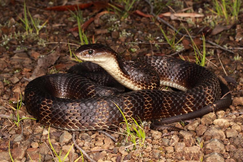 Tiger snakes un des serpents les plus venimeux au monde
